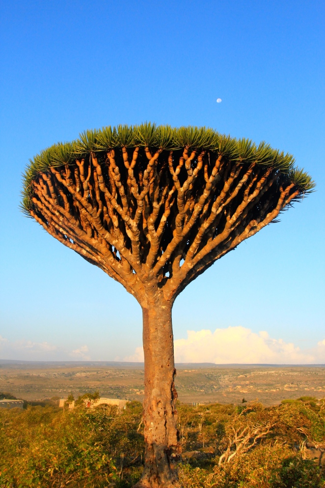 Famous Socotran the Dragon Blood Tree