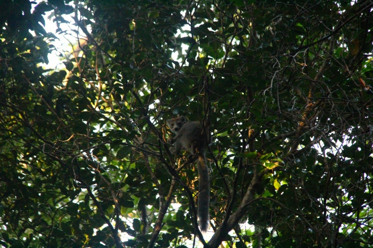 Lemur-spotting