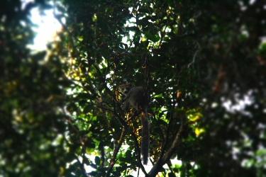 Last lemur