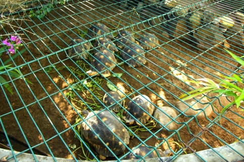 Small Madagascar turtles kept behind the bar protected from the thefts. Apparently they are very precious and expensive!