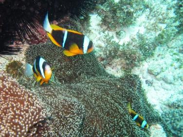 Nemo x3