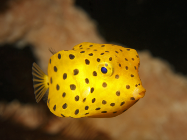 juvenile yellow box fish